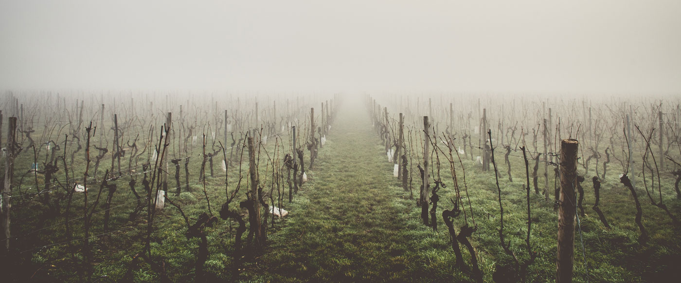 A barren vineyard, for dramatic effect